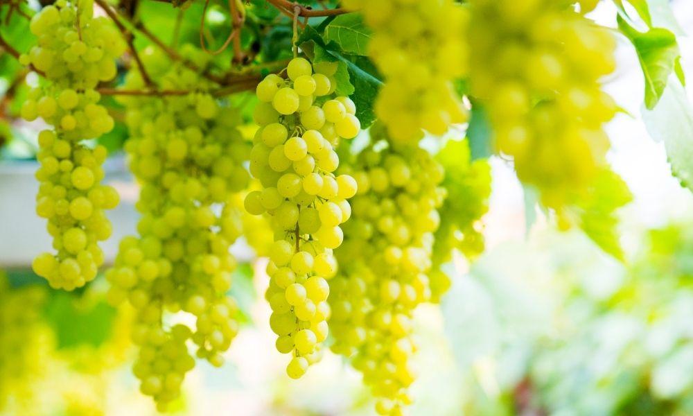 Italiaanse wijnstreken en druivensoorten